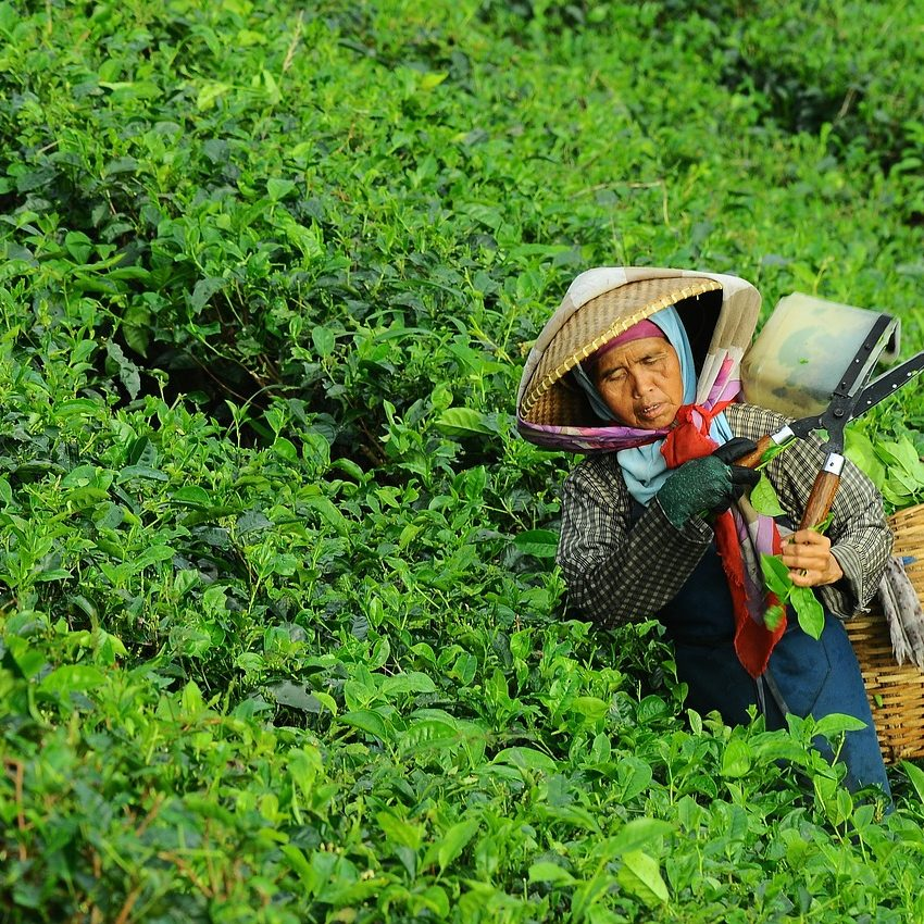 asian woman with wide hat and shears collecting tea leaves in the field